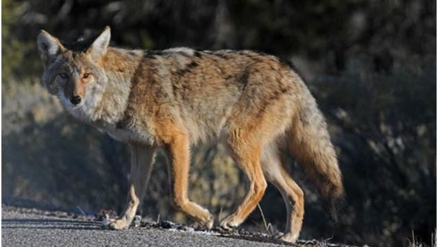 Living with coyotes: Minimizing the risk of encountering coyotes during mating season