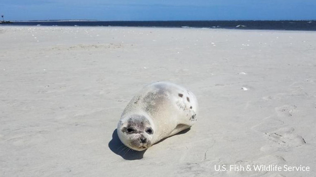 Harp seal pup makes appearance on Outer Banks