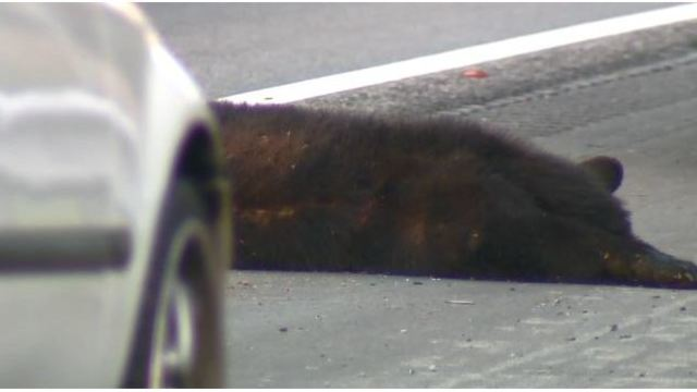 Bear hit, killed by driver in NC