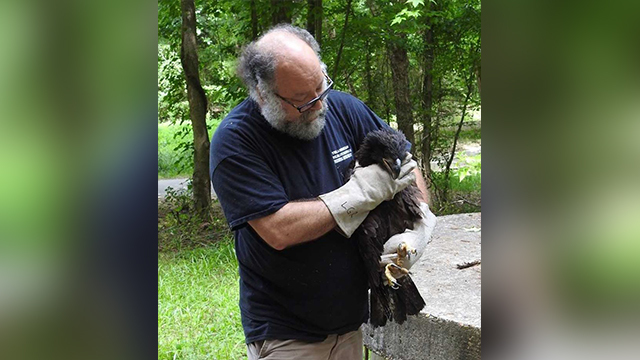 Raleigh wildlife officials caring for eaglets until they are ready to fly